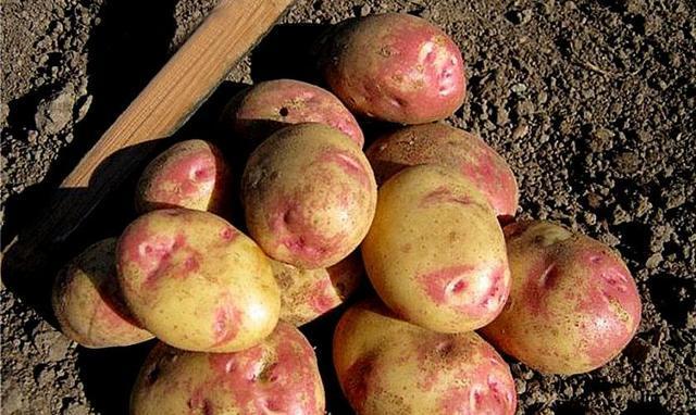 Картофель милена — описание сорта, фото, отзывы, посадка и уход