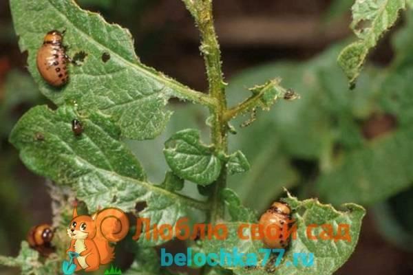 Народные средства в борьбе с колорадским жуком в огороде