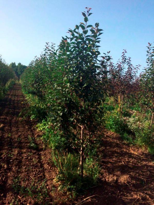 Об абрикосе жигулевский сувенир: описание и характеристики сорта, посадка, уход