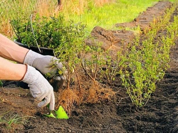 Посадка и уход за барбарисом (29 фото): как сажать в открытый грунт в сибири и подмосковье? когда лучше пересаживать? болезни и борьба с ними