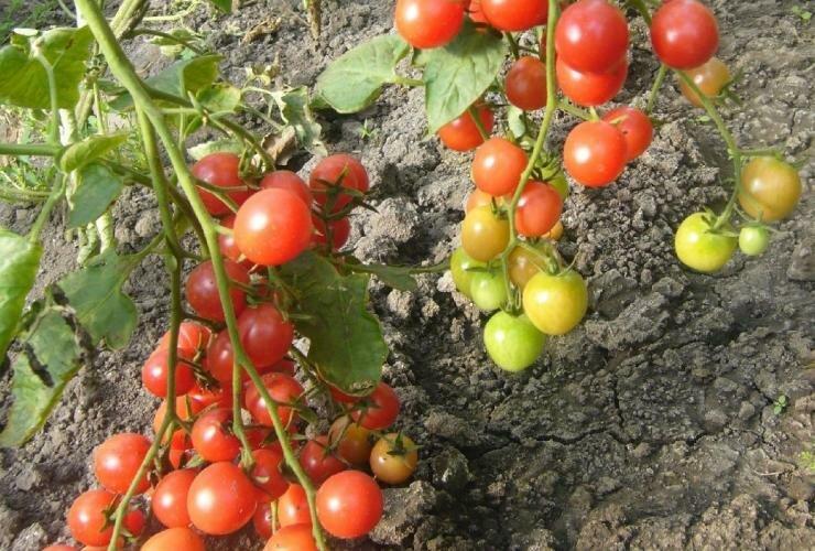 Томаты сибирской селекции для теплиц: обзор сортового разнообразия