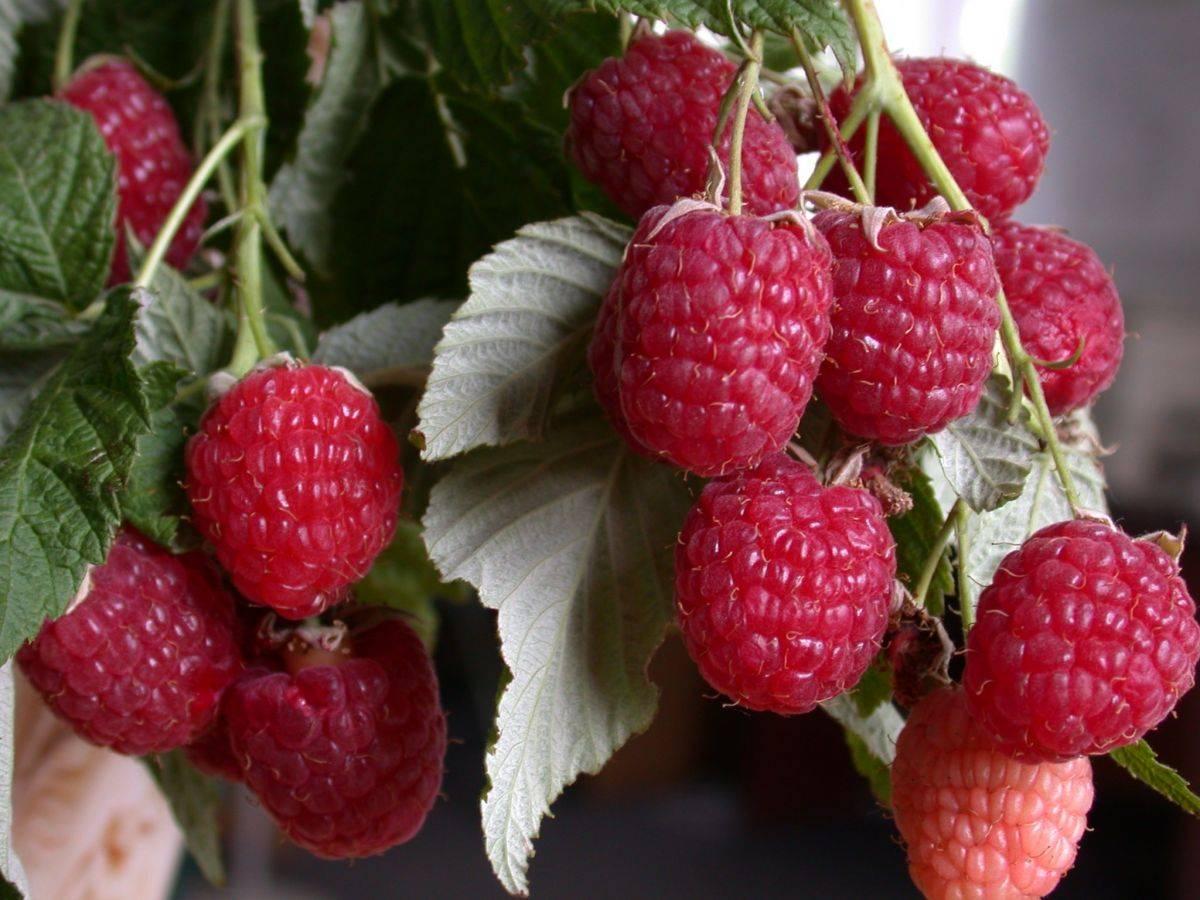 Малина рубиновая: посадка, выращивание и уход