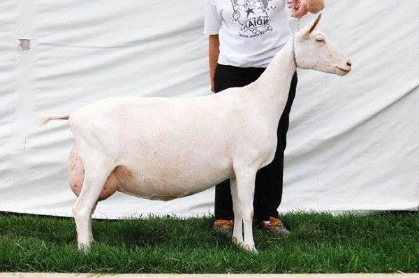 Высокоудойные породы коз молочного направления без запаха