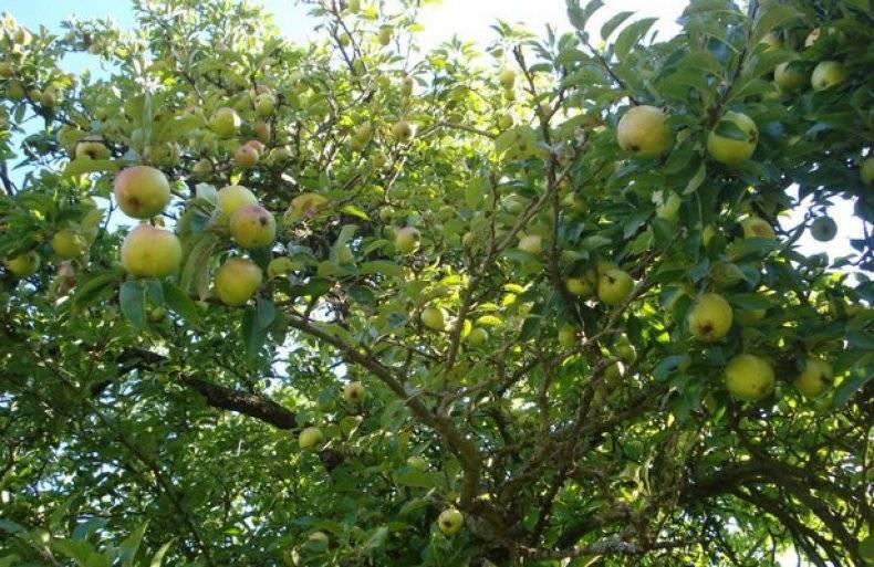 Скороплодная зимняя яблоня ароматное