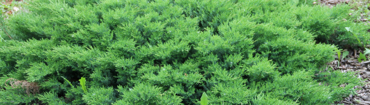 Можжевельник казацкий (56 фото): описание, посадка в открытом грунте и уход. сорта «вариегата» и «глаука», «аркадия» и blue danube