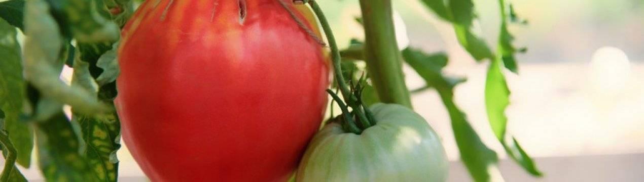 Сорт помидоров вельможа — описание сорта с фото, отзывы