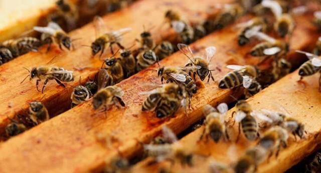 Пчеловодство замена маток