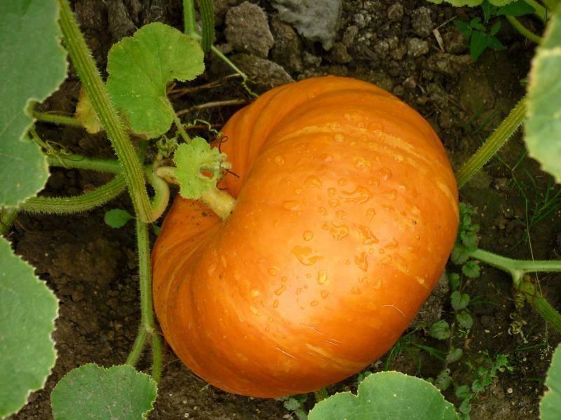 Как прищипывать тыкву в открытом грунте