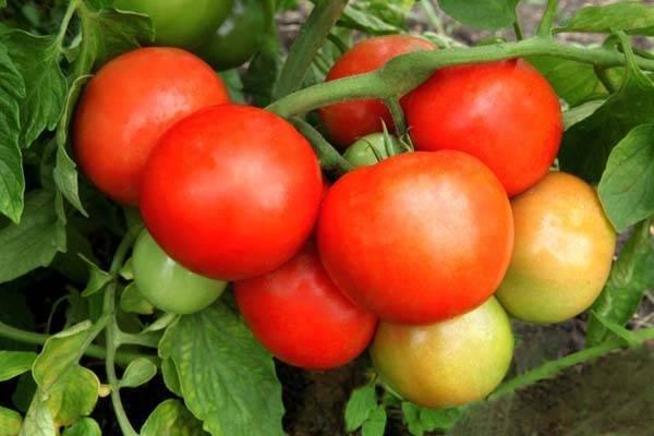 Самые сладкие и мясистые сорта помидоров для открытого и закрытого грунта