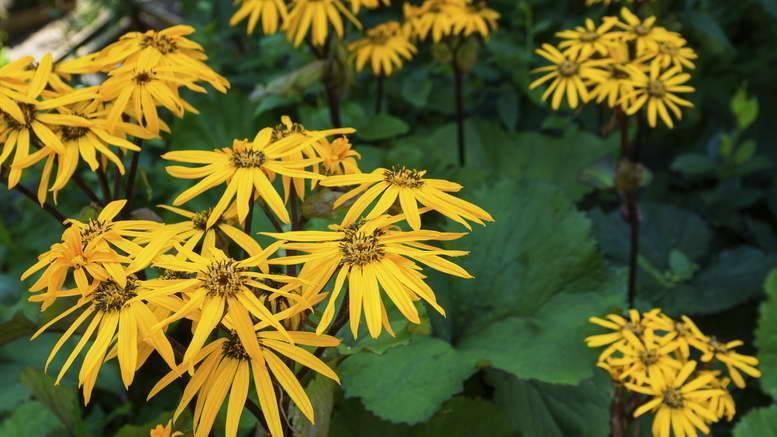 Бузульник пржевальского: посадка и уход. растение в дизайне сада