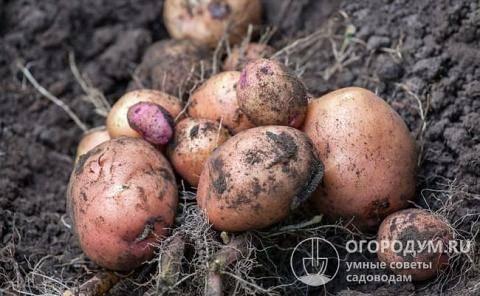 Изучаем картофель сорта розара