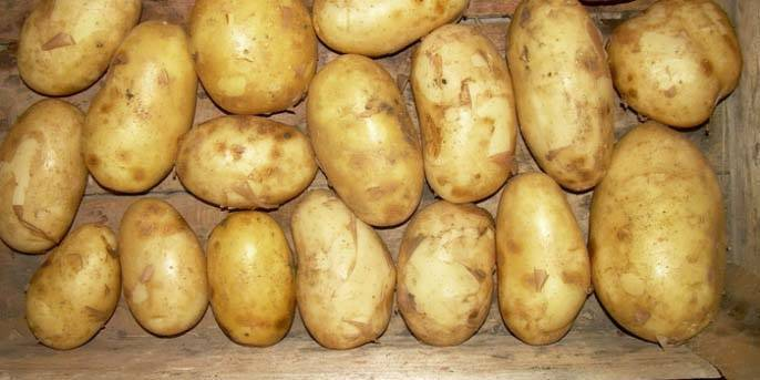 Картофель сорокодневка: описание сорта, фото, характеристика
