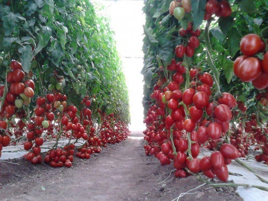 Насколько важно определить нужный промежуток между помидорами и на каком расстоянии друг от друга их сажать?