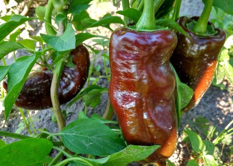 Сорта перца: виды, характеристики и сорта сладкого перца (125 фото)