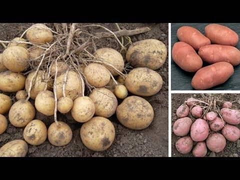 Картофель невский: 8 особенностей и 10 советов по выращиванию и хранению