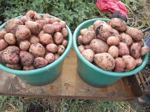 """Картофель """"бриз"""": описание сорта + сорт картофеля бриз фото"""