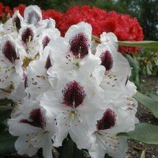 Морозоустойчивые виды и сорта рододендронов