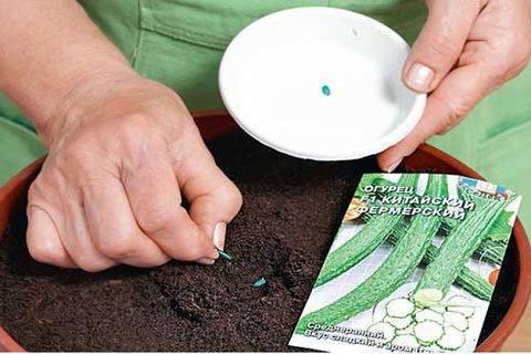 Как подготовить семена огурцов к посеву