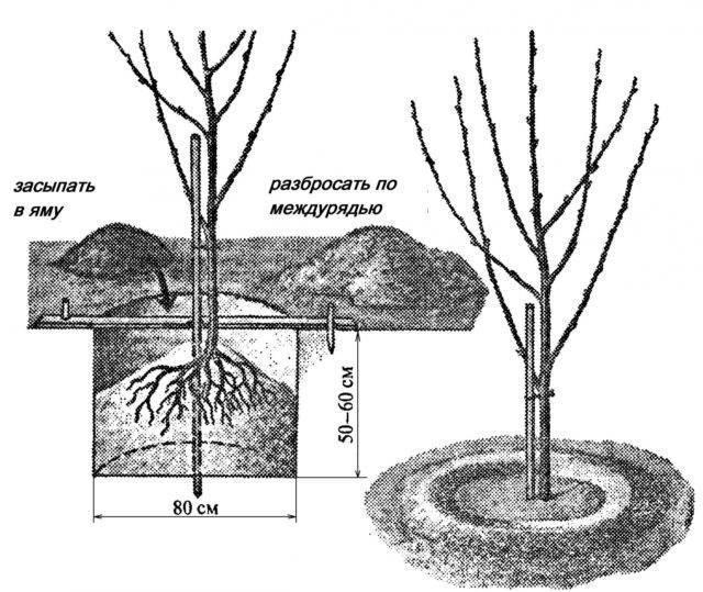 Выращивание груши из семечка в домашних условиях