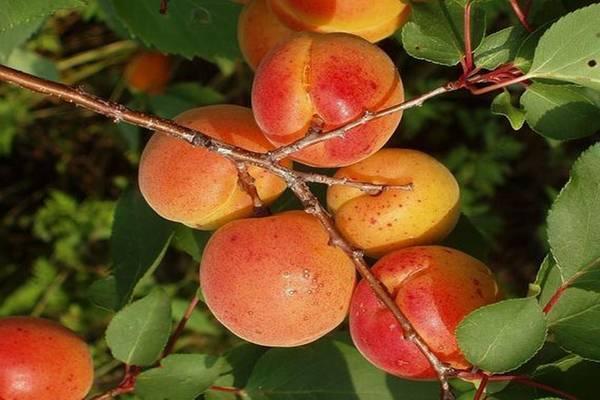 Как посадить и выращивать абрикос в подмосковье