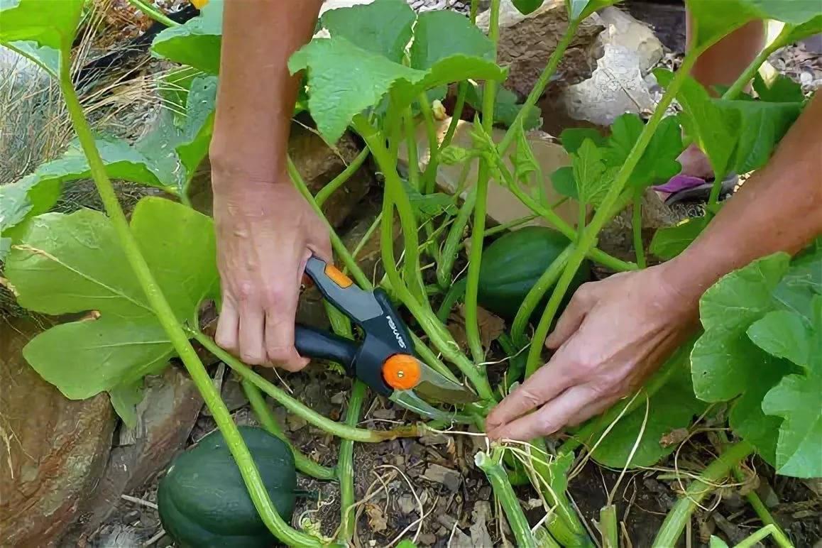 Как правильно прищипывать тыкву при выращивании в открытом грунте и теплице (фото)