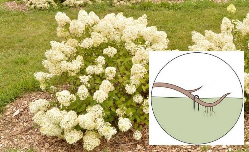 Гортензия «ванилла фрейз» (52 фото): описание гортензии метельчатой «ванилла фрайз», посадка и уход в открытом грунте, обзор отзывов