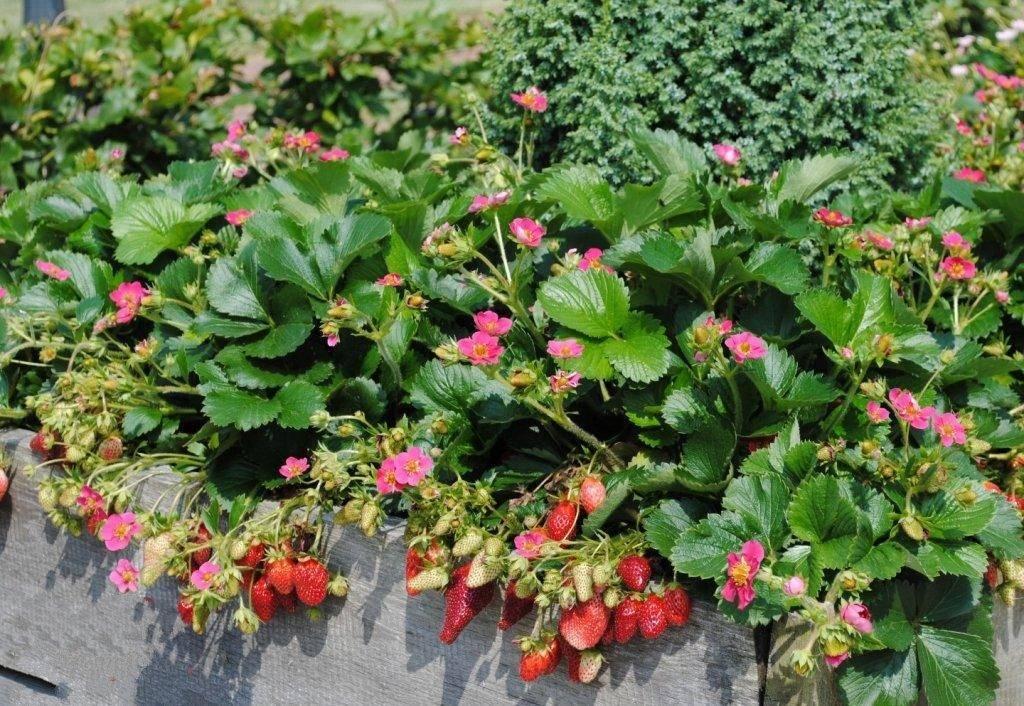 Клубника «тоскана»: особенности выращивания и уход