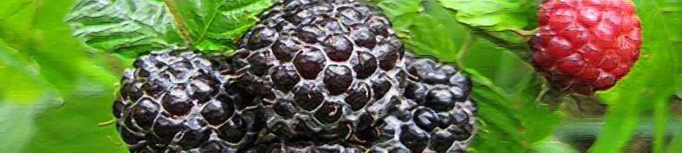 Черная малина кумберленд