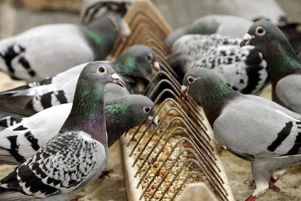 Почему нельзя кормить голубей на улице?