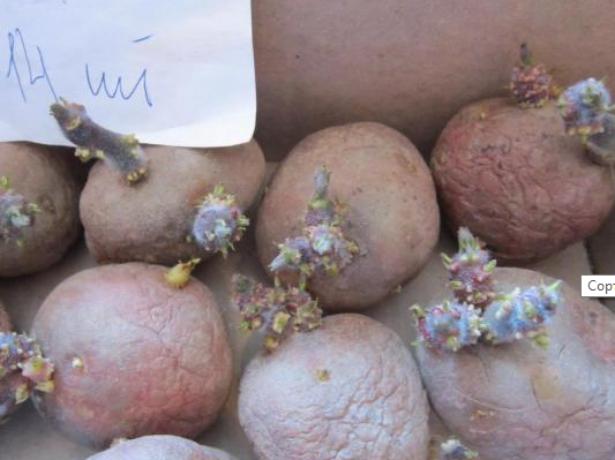 Картофель ирбитский — описание сорта, фото, рекомендации по выращиванию