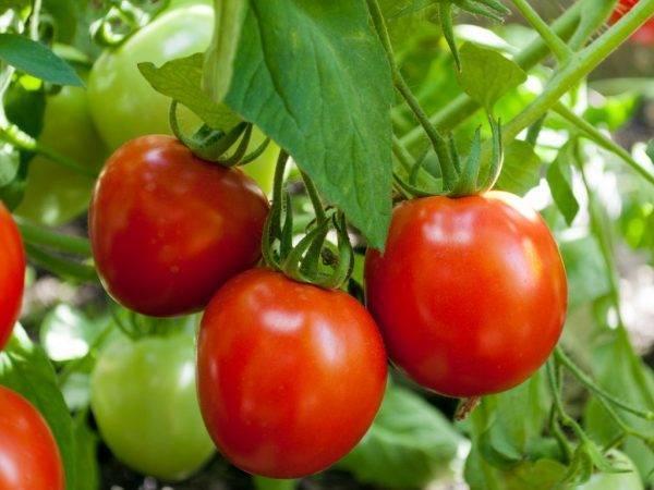Описание раннеспелого гибридного томата капитан f1 и агротехника выращивания