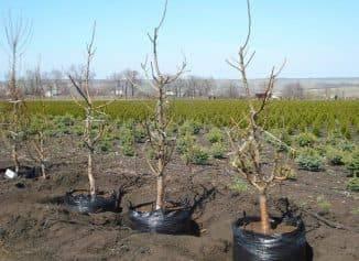 Посадка вишни на Урале: осенью, весной и летом, правила ухода