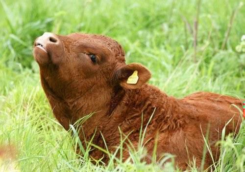 Почему молочная корова скрипит зубами