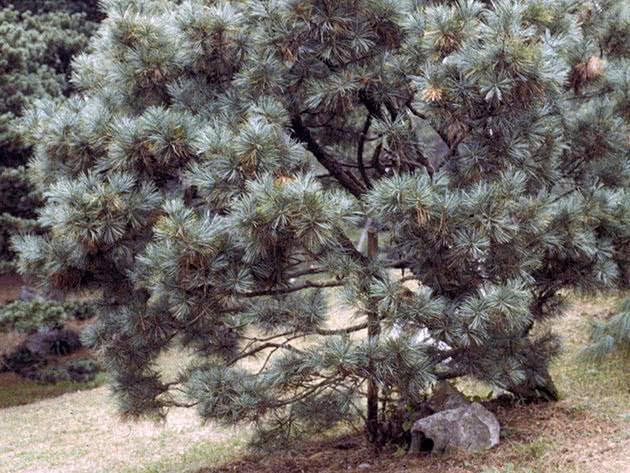 Карликовая сосна (38 фото): сорта декоративных низкорослых мини-сосен для сада. их посадка и уход. примеры в ландшафтном дизайне