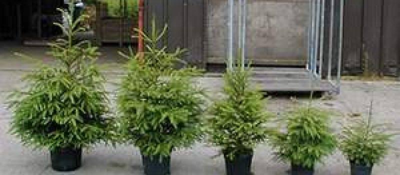 Выращивание пихты в саду, уход, виды, размножение и проблемы в уходе