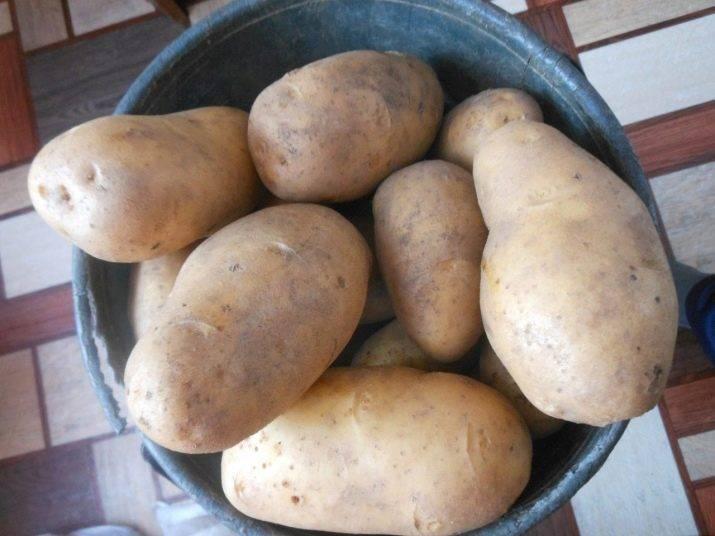 """Картофель """"вега: описание сорта, основные характеристики, фото"""