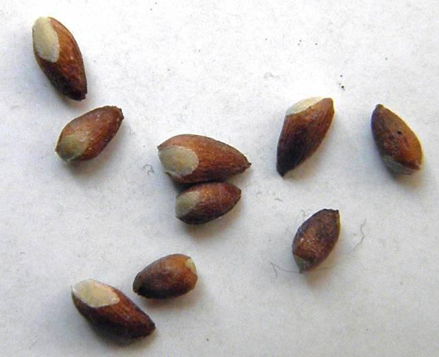 Семенное размножение можжевельника: плюсы и минусы выращивания таким способом