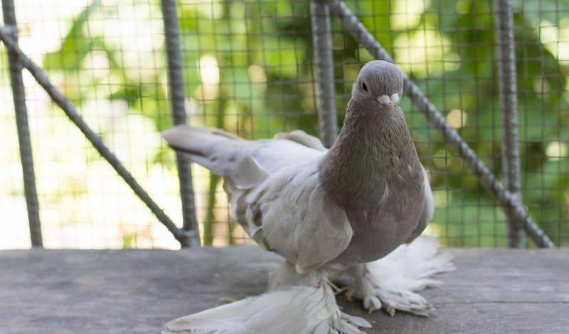 На какие виды делятся бакинские голуби?