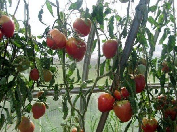 """Томат """"орлиный клюв"""": описание и характеристики сорта, рекомендации по выращиванию и фото плодов-помидоров"""