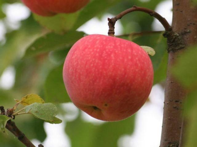 Яблоня «китайка»: популярные сорта и их особенности