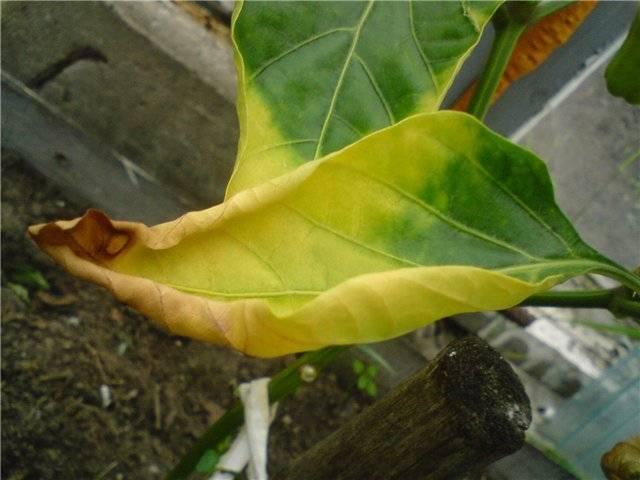 Почему у рассады перца желтеют листья: причины, методы лечения