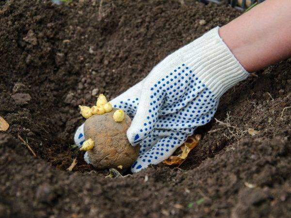 Картофель барин: характеристика сорта, отзывы