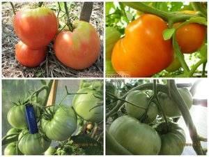 Томат с сибирским характером. описание и особенности помидорного сорта вельможа