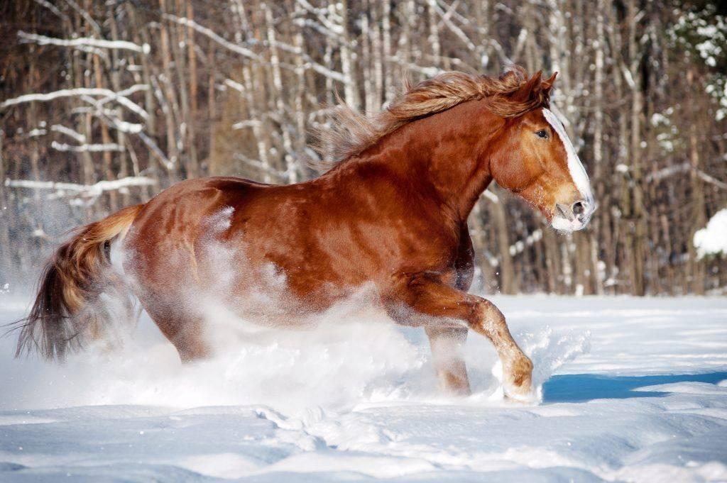 Лошадь владимирский тяжеловоз: уход и содержание