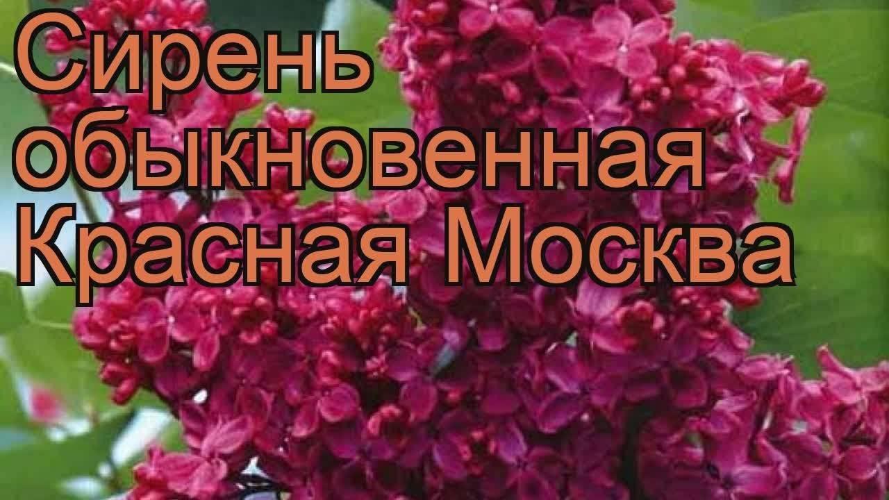 Сирень красная москва: описание, посадка и уход, фото