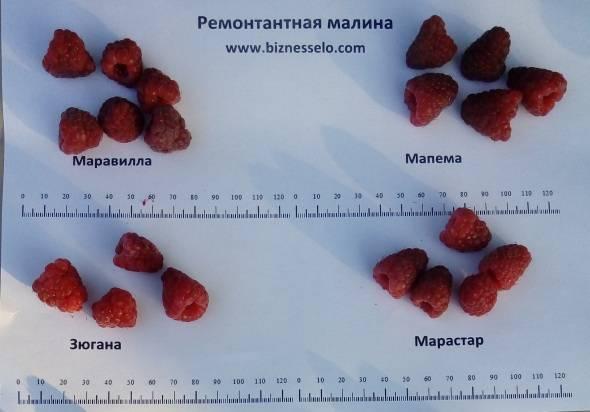Самая вкусная малина: сорта с высокой сахаристостью и насыщенным ароматом