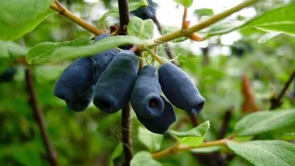 Жимолость бакчарская — описание сорта, отзывы и фото