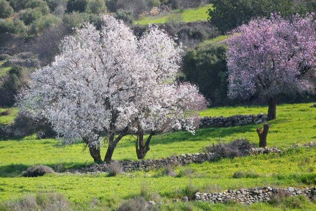 Описание миндального дерева и особенности его выращивания