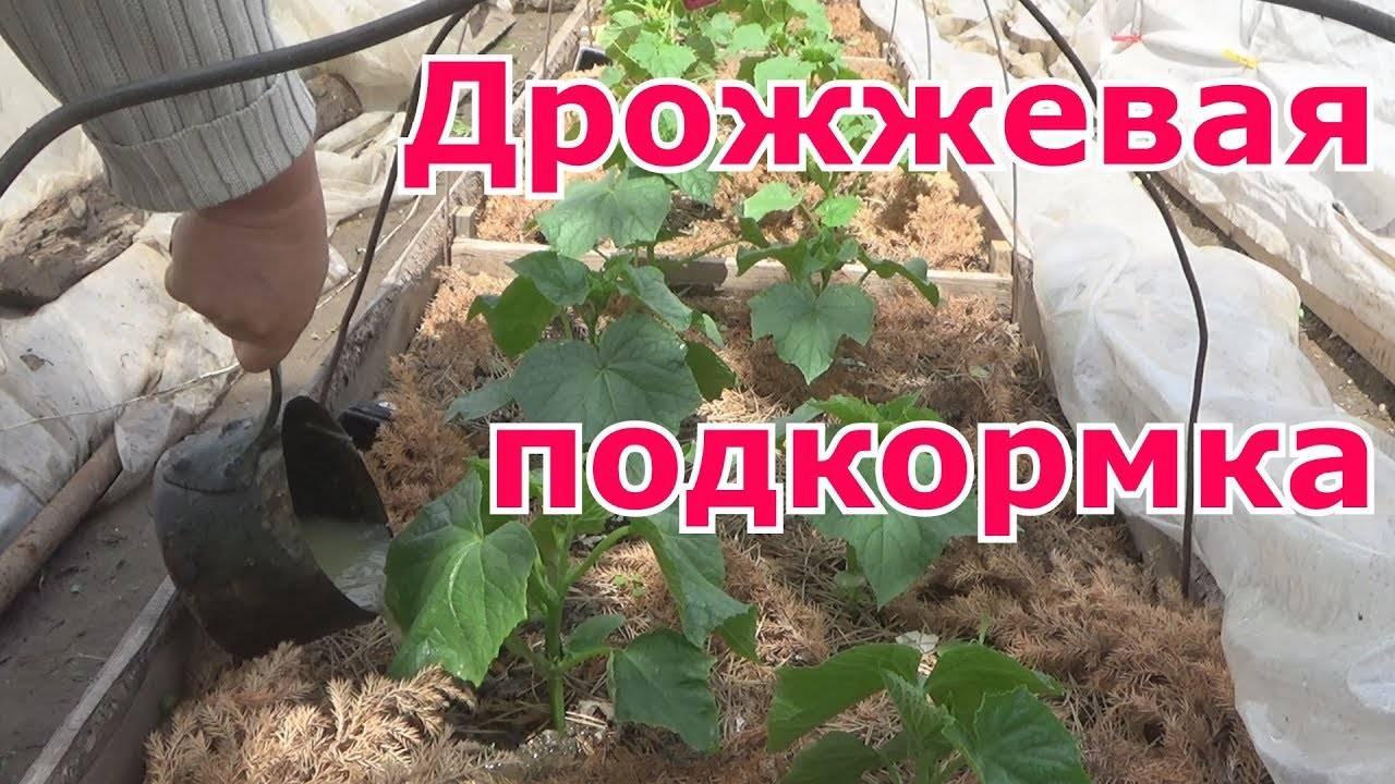 Подкормка помидор дрожжами в теплице и открытом грунте: рецепты, правила, отзывы