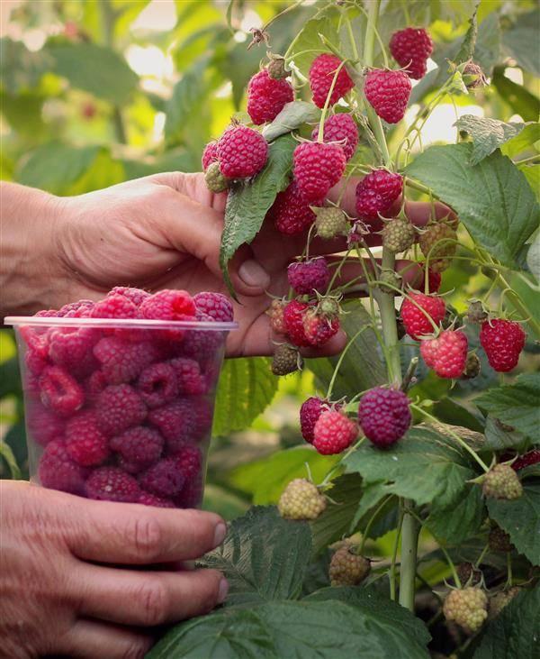 Малина феномен описание сорта урожайность с одного куста